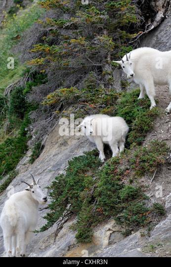 Three wild mountain goats - Stock Image