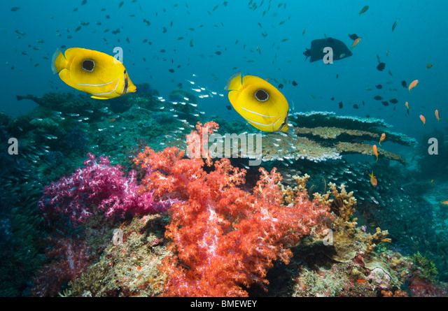 Bennett's butterflyfish swimming over soft corals on reef.  Misool, Raja Empat, West Papua, Indonesia. - Stock Image