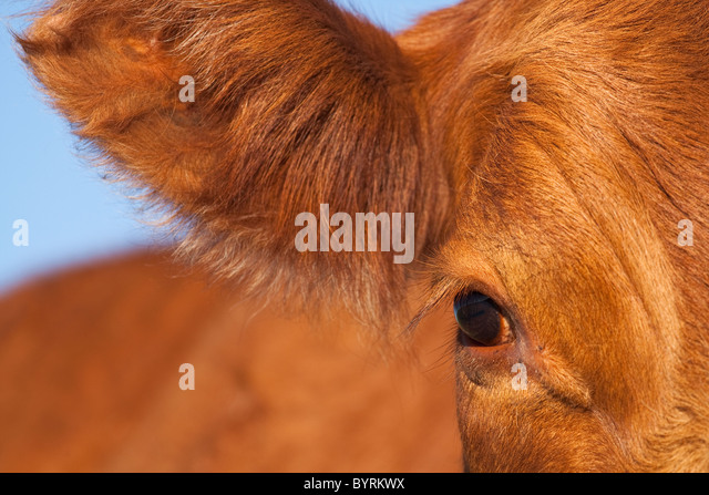Livestock - Closeup of the ear and eye of a Red Angus beef cow / Alberta, Canada. - Stock Image