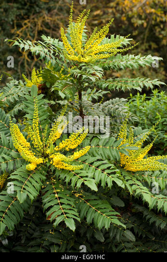 Mahonia x media buckland stock photos mahonia x media for Mahonia japonica