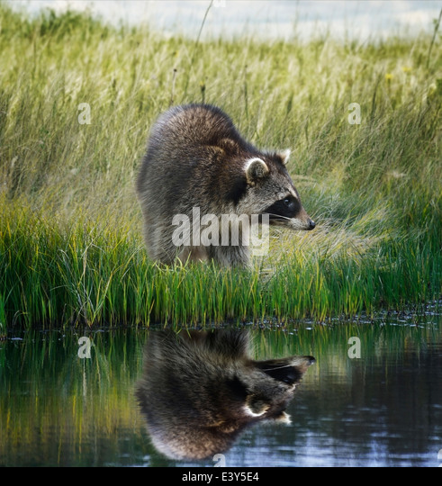 Raccoon On Grassy Bank With Reflection - Stock Image