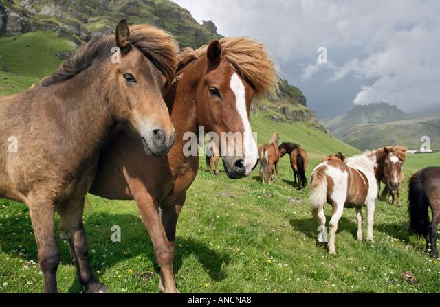Icelandic Horses in Pasture Iceland - Stock Image
