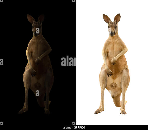 kangaroo isolated and kangaroo in the dark - Stock Image