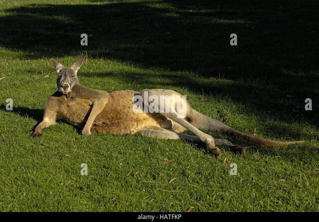 Giant Kangaroo - Stock Image
