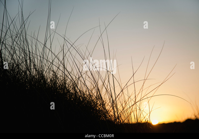 Sun setting behind tall grass - Stock Image