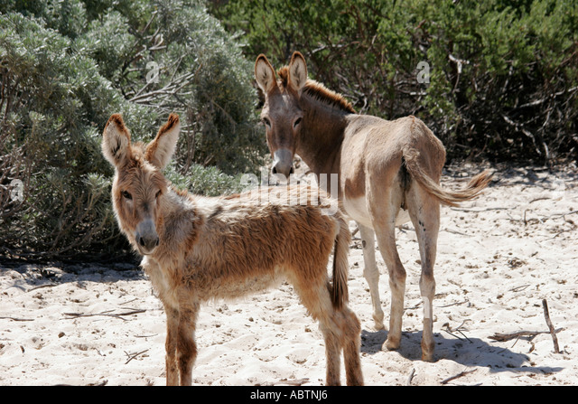 Grand Turk wild donkeys near Indigenous Horse Shelter - Stock Image
