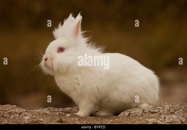 White bunny rabbit on rock - Stock Image