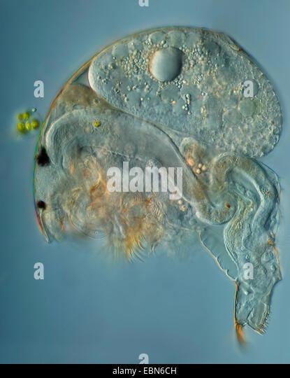 common water flea (Daphnia pulex), in differential interference ...