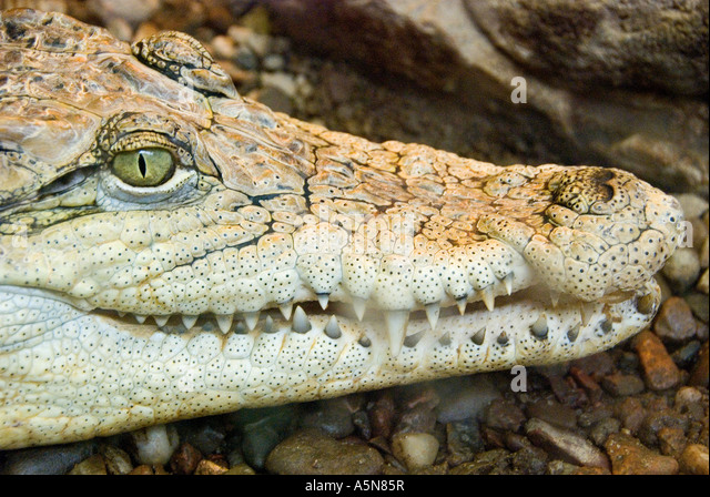 Crocodile Crocodylus - Stock Image