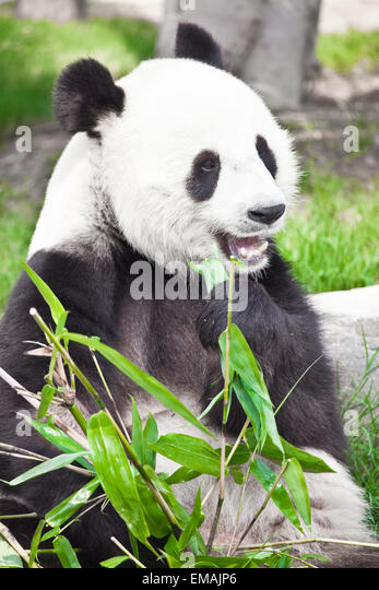 Feeding time. Giant panda eating bamboo leaf - Stock Image