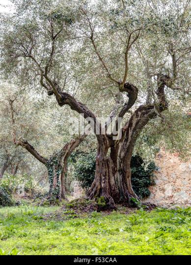 Europe, Italy, Tuscany.  Old olive trees at Sant'Anna in Caprena, a former Benedictine Monastery Olivetano of - Stock-Bilder