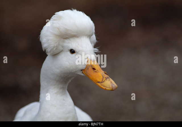White Crested Duck - Stock Image