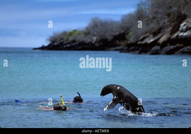 Ecuador Galapagos Islands Floreana Island Galapagos Sea Lion swimmers snorkeling - Stock Image
