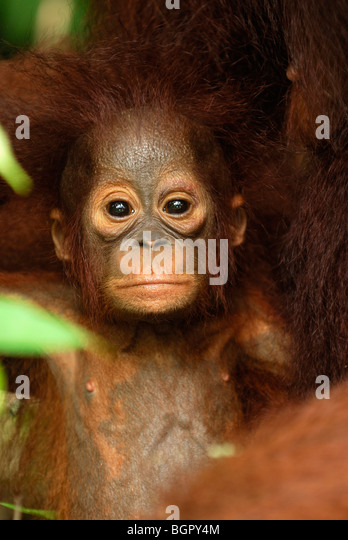 Borneo Orangutan baby (Pongo pygmaeus), young, Camp Leaky, Tanjung Puting National Park, Kalimantan, Borneo, Indonesia - Stock Image