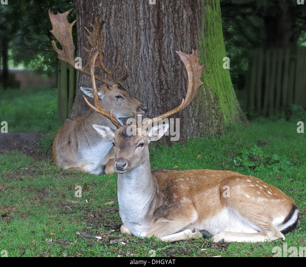 Deer at Dunham Massey, Altrincham, Cheshire, England, UK WA14 4SJ - Stock Image