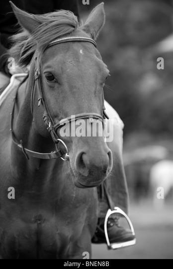 Horse Equus ferus caballus - Stock Image