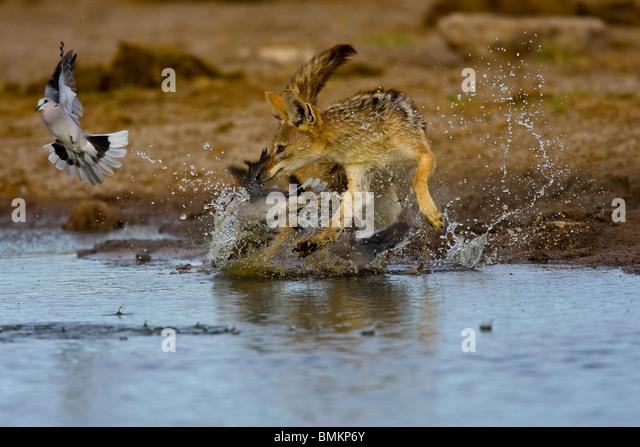 Black backed Jackal chasing Cape Turtle Doves, Etosha, Namibia - Stock Image