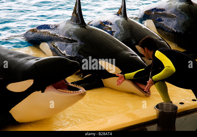 Handler feeding some killer whales during the Orca Show in Loro Parque, Puerto de la Cruz, Tenerife, Spain - Stock Image
