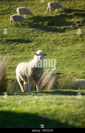 Sheep, grazing sheep, farmland near Puponga, Golden Bay, northern coast of South Island, New Zealand - Stock Image