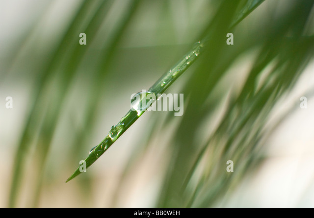 Water droplets on an ornamental grass plant - Stock Image