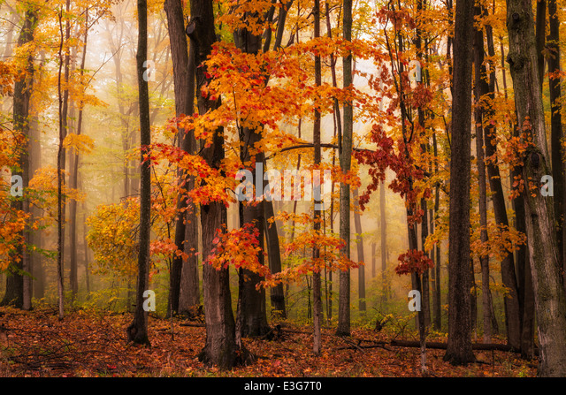 A foggy fall woodland in Michigan's north woods, USA - Stock Image