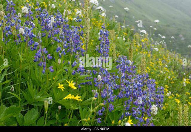 Mountain Meadow Flowers Monogram Lake Lookout Mountain Trail North Cascades National Park Washington USA - Stock Image
