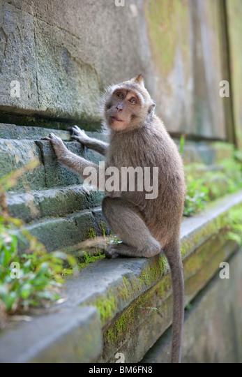 Monkey in monkey-forest, Ubud,Bali,Indonesia - Stock Image