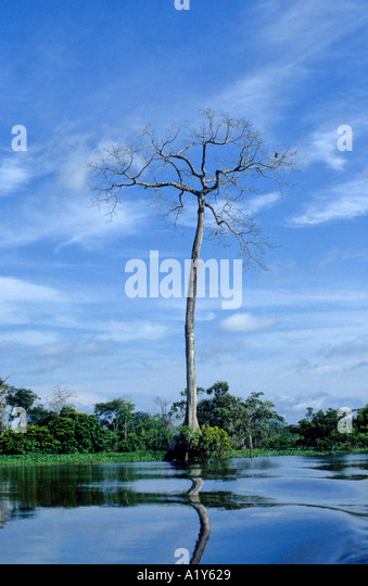 A lone Brazil Nut tree survives deforestation in the Amazon, Brazil - Stock Image