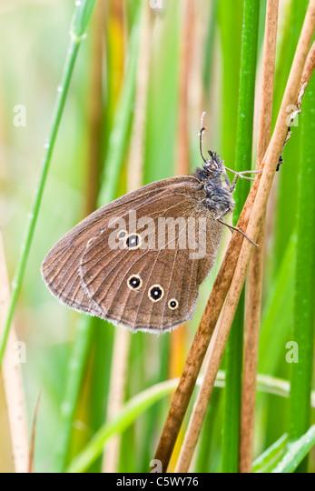Ringlet Butterfly resting amongst soft rush - Stock Image