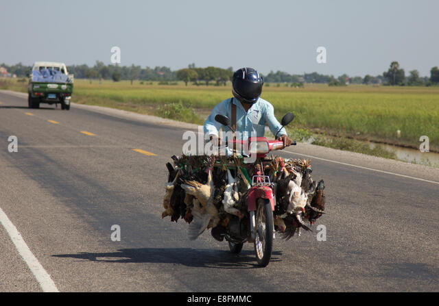 Cambodia, Siem Reap, Chickens transported by motorbike in Cambodia - Stock Image