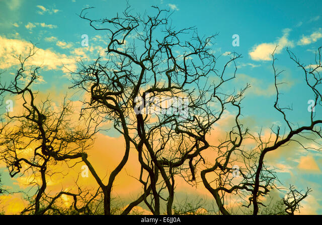 Silhouetted tree branches and sunrise. Lanai, Hawaii. - Stock Image