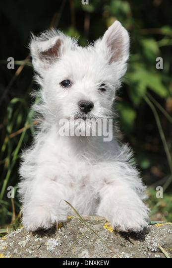 Westie Highland Terrier Prince Edward Island