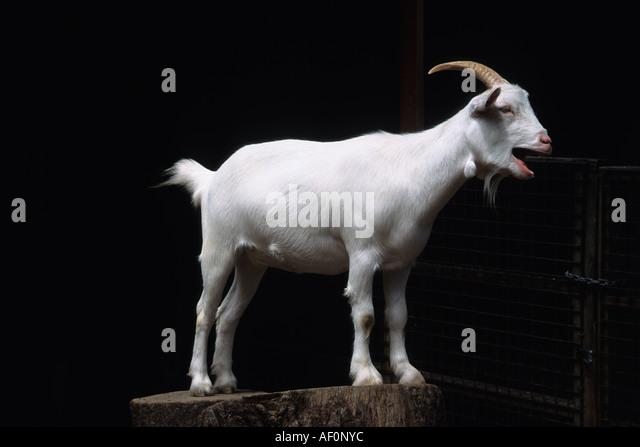 Goat Standing Sandra Baker - Stock Image
