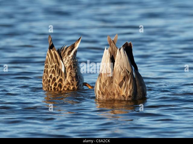 Gadwall (Anas strepera), pair up-ending. - Stock Image