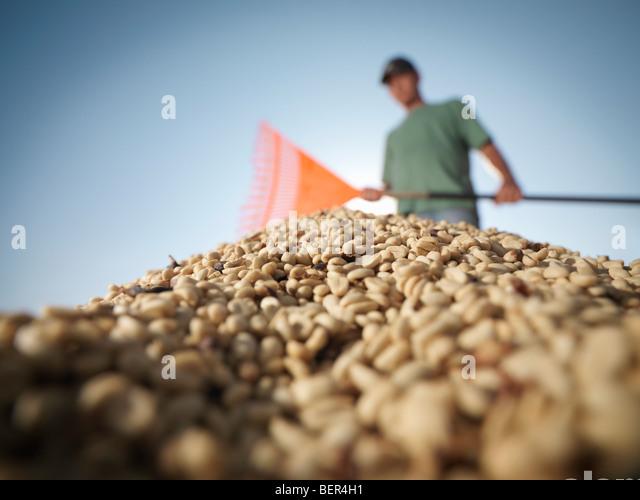 Worker Raking Pile Of Coffee Beans - Stock Image