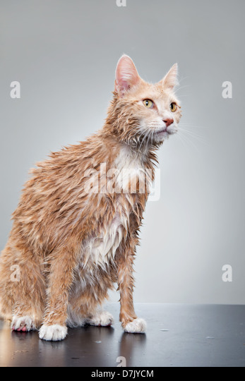 Portrait of wet cat dripping water in studio after shower - Stock Image