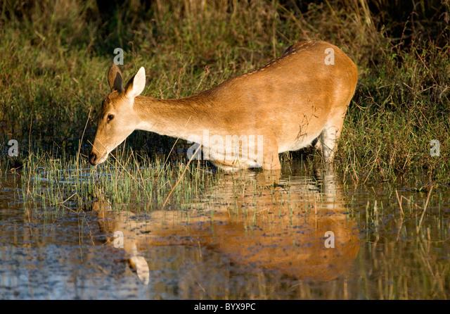 Swamp deer Cervus duvauceli India - Stock Image