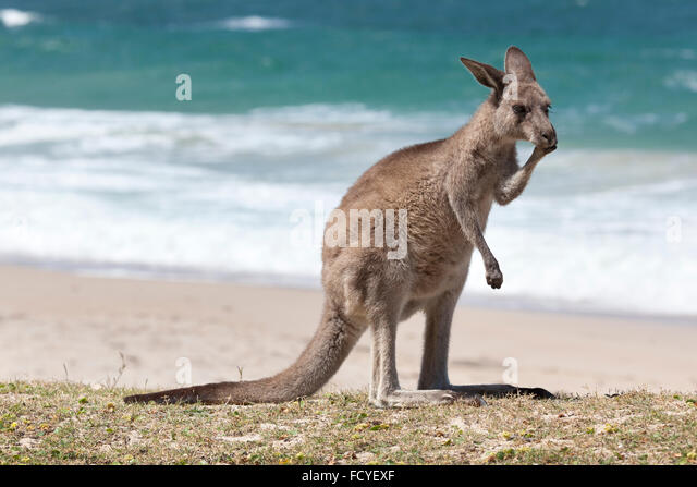Red Kangaroo on the beach, Depot Beach,New South Wales, Australia - Stock Image