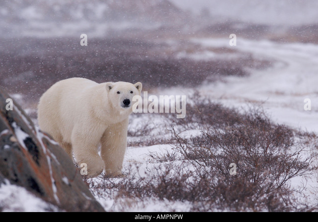 Polar Bear, Ursus maritimus, walking on the tundra near the shores of Hudson Bay, Churchill, Manitoba, Canada. - Stock Image
