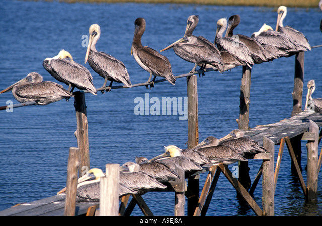 Florida USA Pelicans Lined on Old Dock Lined up at different levels Cedar Key - Stock Image