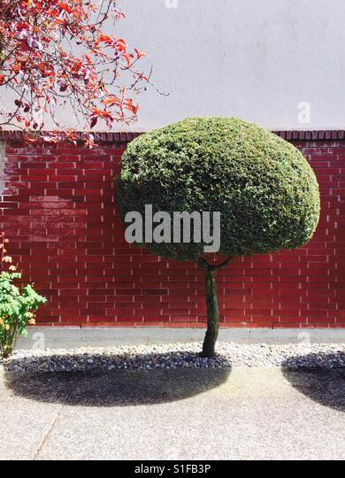 Trimmed round topiary tree in front of a shiny red brick wall - Stock-Bilder