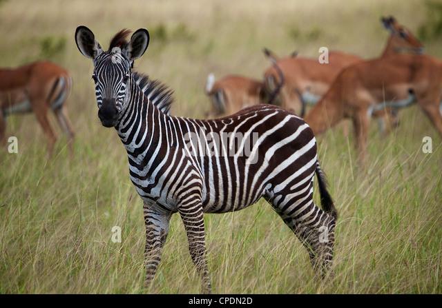 Young zebra Equus quagga Mikumi national park.Tanzania Africa. - Stock Image