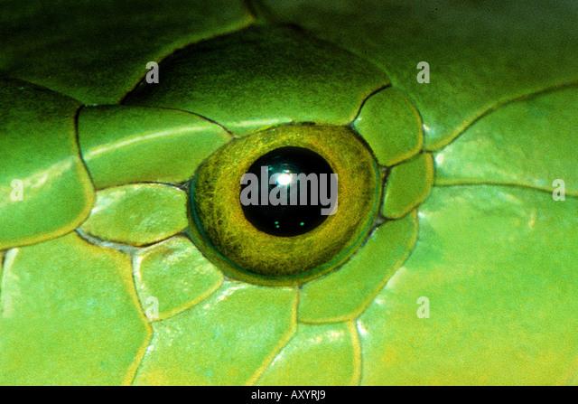 Snake Eyes Stock Photos Amp Snake Eyes Stock Images Alamy