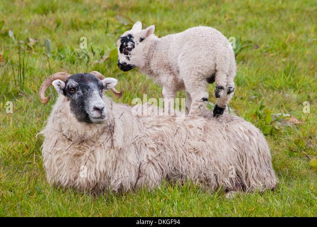 scottish spring lamb stock photos amp scottish spring lamb