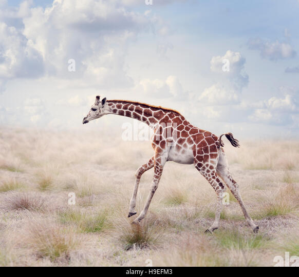 Young Giraffe Running in a Grassland - Stock Image