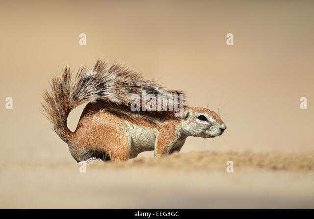 A ground squirrel (Xerus inaurus), Kalahari desert, South Africa - Stock Image
