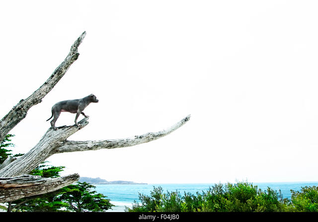 Heroic dog high on bare tree branch overlooking scenic ocean view - Stock Image
