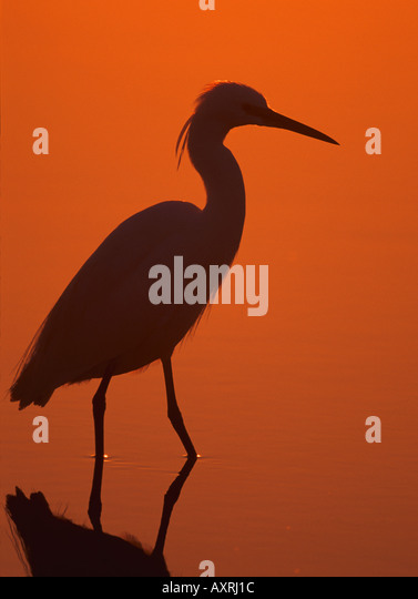 Little Egret in backlight - dawn / Egretta garzetta - Stock Image