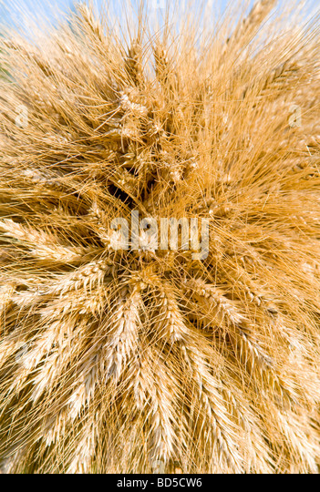 Bunch of wheat as background - Stock Image