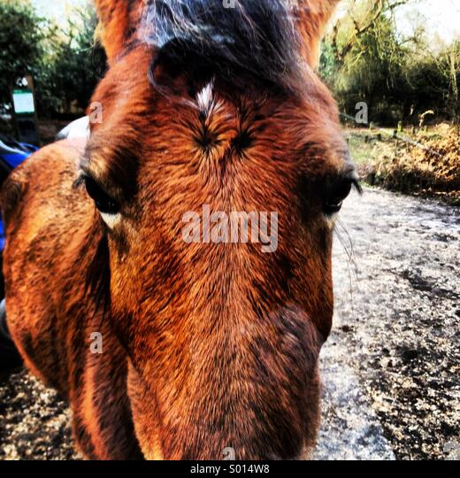 A New Forest pony on the scavenge for some lunch near Gatewood Bridge in the New Forest National Park, UK. - Stock Image